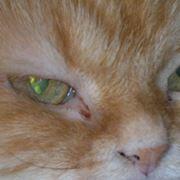 malattie occhi gatto