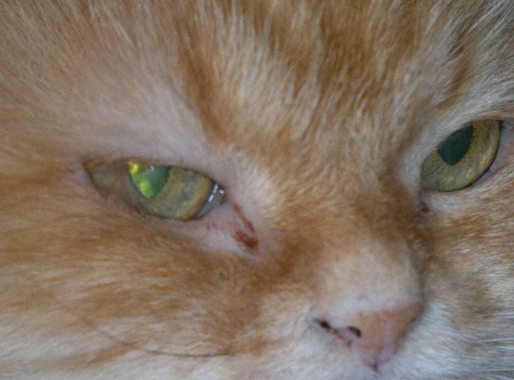 Gatto con evidente malattia all'occhio