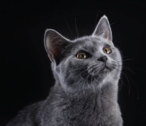 Caratteristiche Del Gatto Certosino Pelo Corto Quali Sono Le