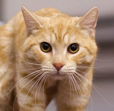 Gatto rosso europeo, con la tipica striatura a