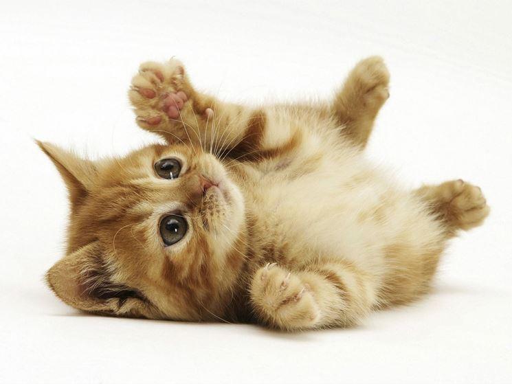 Il gatto rosso europeo è un vivace giocherellone