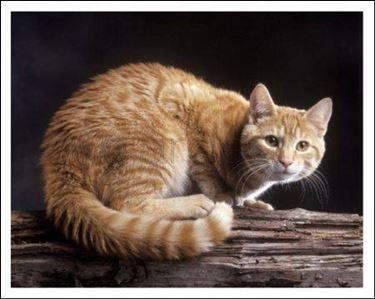 Gatto tigrato rosso