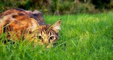 Gatto durante la caccia.