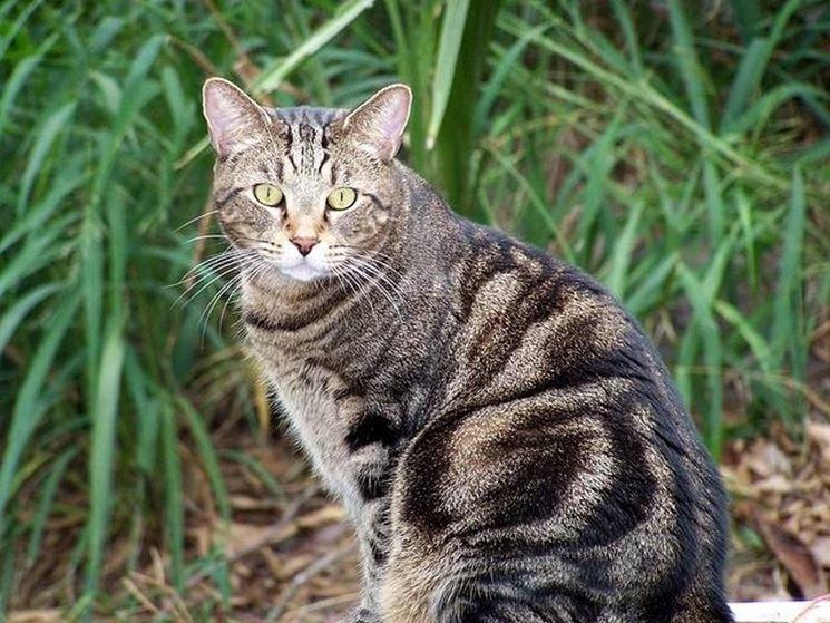Esemplare di gatto adulto.