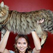 Esemplare di gatto gigante