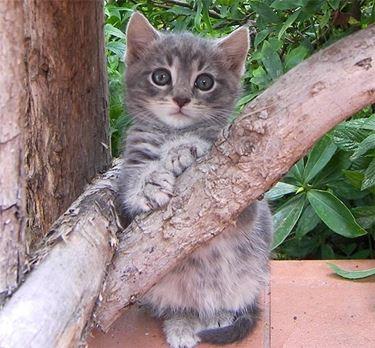 Gatto grigio cucciolo