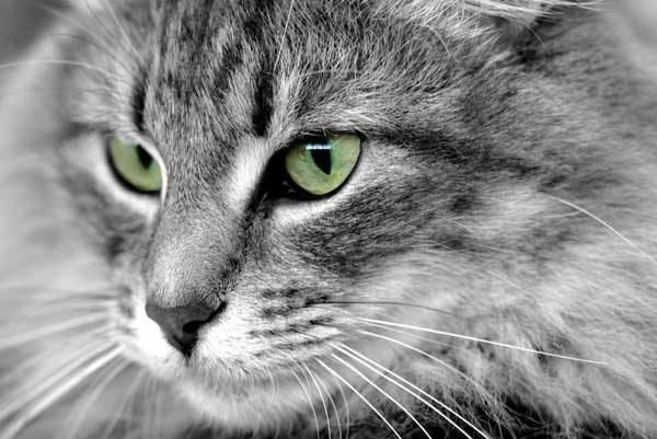 Viso gatto grigio