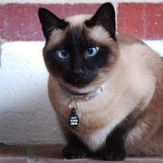 Esemplare di gatto thai