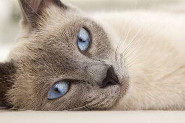 Piccolo di gatto siamese
