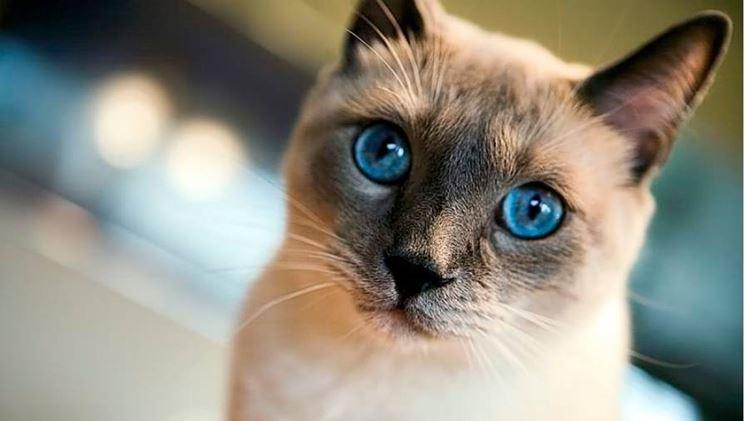 Bellissimo esemplare di gatto thai