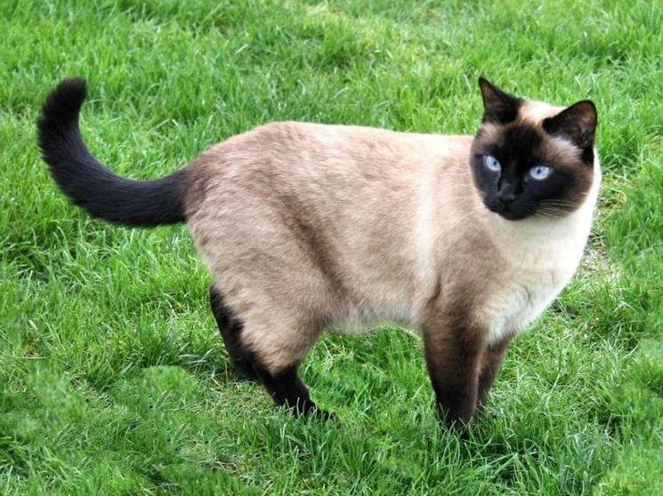 Esemplare di gatto siamese moderno
