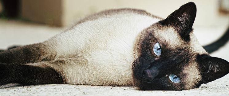 Bellissimo esemplare di gatto thai adulto