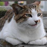 Esemplare di gatto soriano