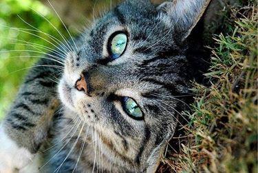 Lo sguardo languido del gatto soriano
