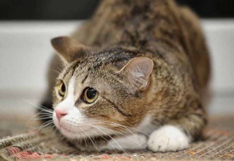 Una posa plastica del gatto soriano