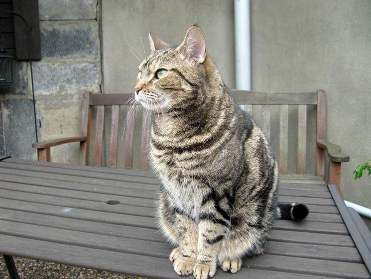 Gatto soriano al riposo