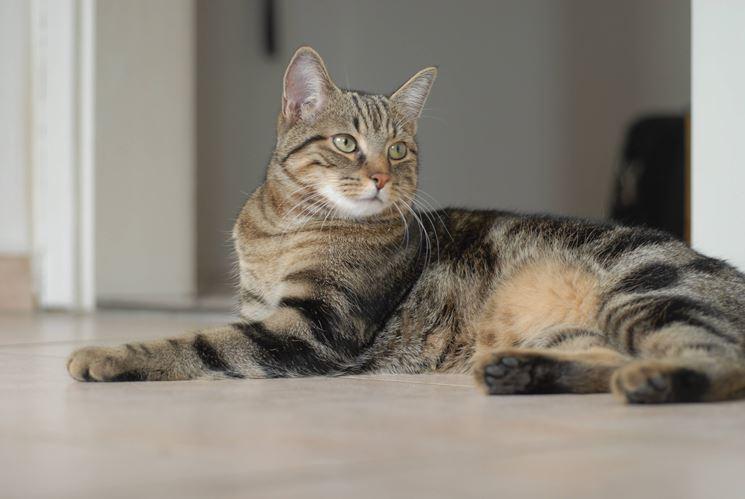 Gatto <strong>tigrato</strong> scuro