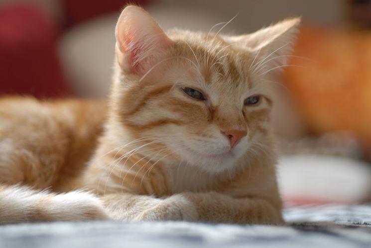 Gatto tigrato dal pelo arancione