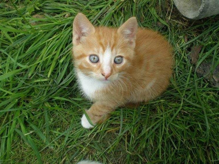 Cucciolo di gatto europeo