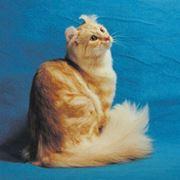 American Curl Longhair