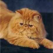 gatto persiano carattere