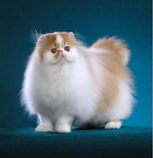 Gatti persiani pelo lungo caratteristiche dei gatti - Cucina casalinga per gatti ...