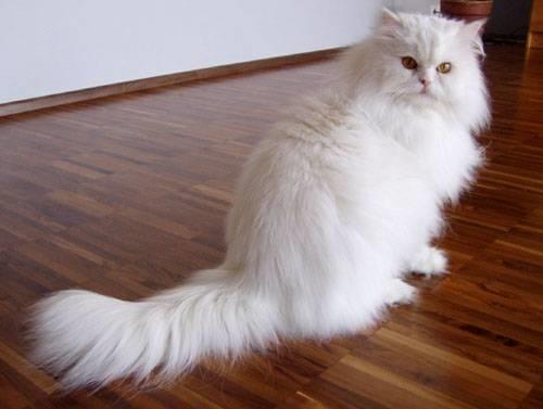 Gatti Persiani Pelo Lungo Caratteristiche Dei Gatti Persiani