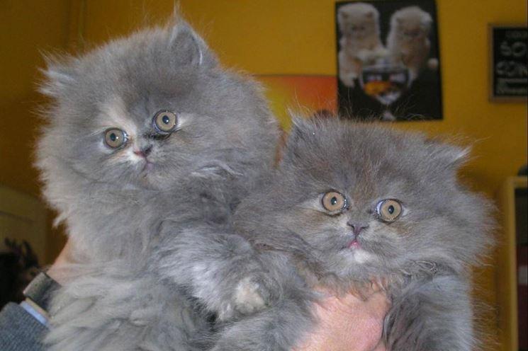Gatti persiani blu