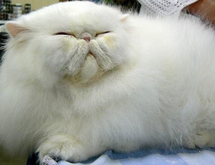 Gatto persiano a pelo corto