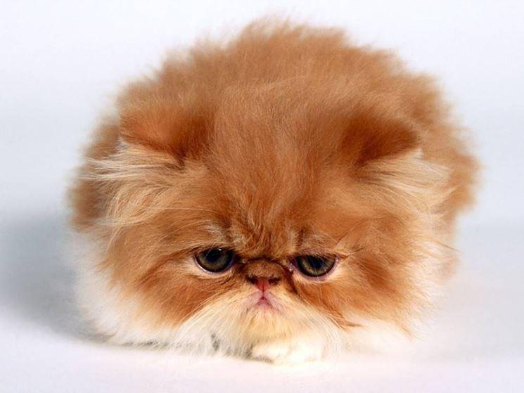 gatto Persiano rosso