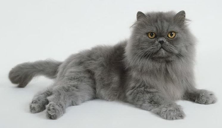 Gatto Persiano Prezzo Pelo Lungo Quanto Costa Il Gatto Persiano