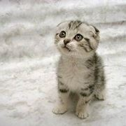 gatti scottish fold