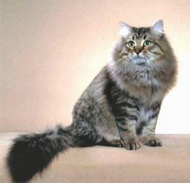 Gatto Siberiano Pelo Lungo Scopriamo Il Gatto Siberiano