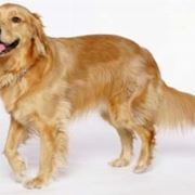 foto del Golden Retriever