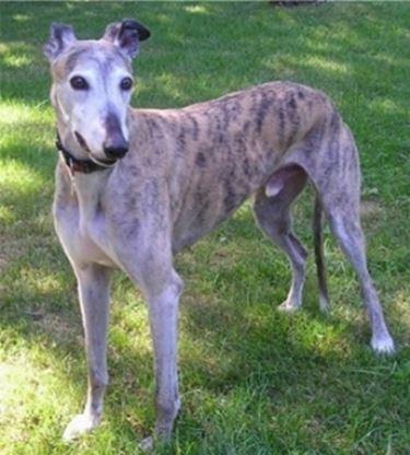 foto del Greyhound