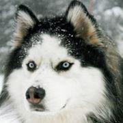 foto di husky