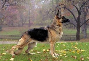 foto del pastore tedesco