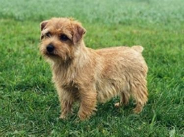 foto norfolk terrier