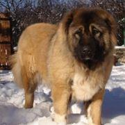 caucaso cane