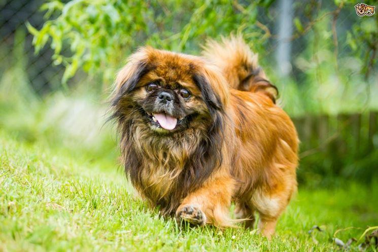 pechinese cane