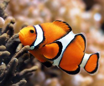 Pesci for Pesce pagliaccio foto