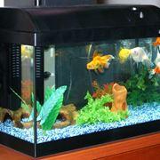 Pesci rossi in acquario