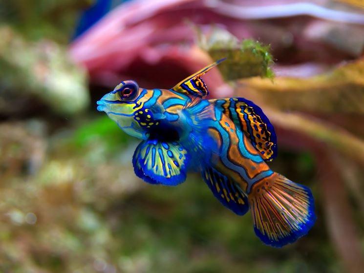 Pesce Mandarino dai caratteristici colori accesi e brillanti