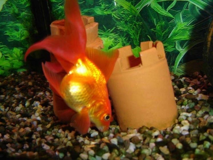 Alimentazione pesci rossi