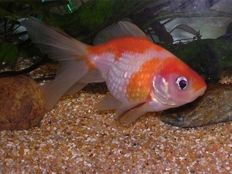 alimentazione pesci rossi mangimi cibo per pesci rossi