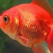 mangime per pesci rossi