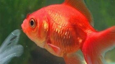 Pesci rossi alimentazione mangimi for Riproduzione pesci rossi in laghetto