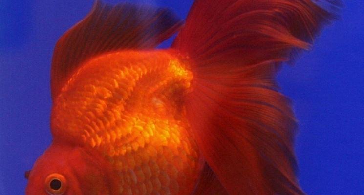 pesci rossi alimentazione mangimi