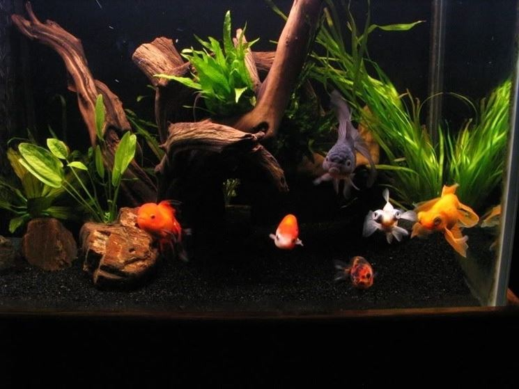 acquario di pesci rossi