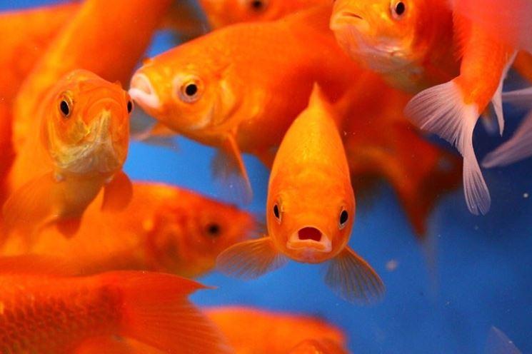 Acquario pesci rossi pesce acquario per pesci rossi - Pesci comuni in tavola ...